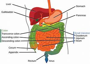 34 1e  Digestive System  Mouth And Stomach