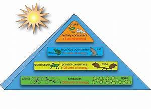 Biology Ecosystem Energy Flow