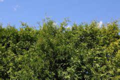Sträucher Eignen Sich Als Sichtschutz by Str 228 Ucher Als Sichtschutz 187 Diese Geh 246 Lze Eignen Sich