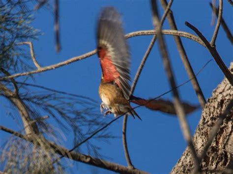 red flash rose breasted grosbeak in the trv san diego