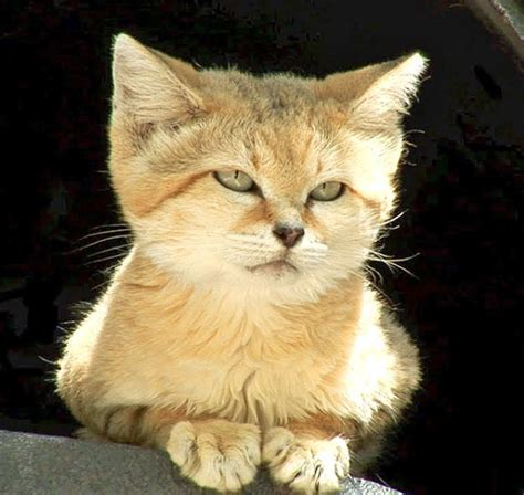 sand cats cat endangered why animals