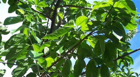 contoh tanaman herbal pt tridaya sinergi indonesia