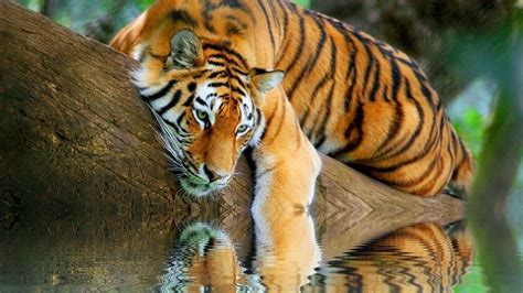 Tiger Wallpapers Free Wallpaper Cave