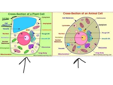 animal cell labeled yahoo image search results biology