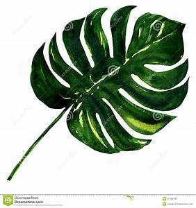 Big Green Leaf Of Monstera Plant, Isolated On Stock ...