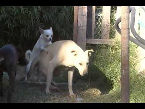 big dog  dog hump youtube