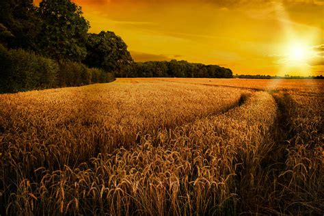 large country house plans wheat ripening in late summer sun in shropshire photograph