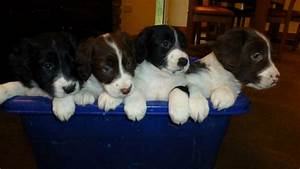 Springer Spaniel X Border Collie pups(sprollies ...