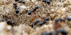 Ameisen Bekämpfen Im Garten : freizeit ameisen die nahrung entziehen l use biologisch bek mpfen maz m rkische allgemeine ~ Frokenaadalensverden.com Haus und Dekorationen
