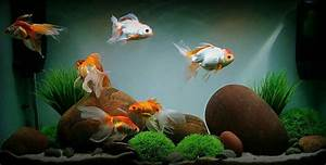 Pin by Catry Yuki on Oceanul | Pinterest | Fish, Goldfish ...