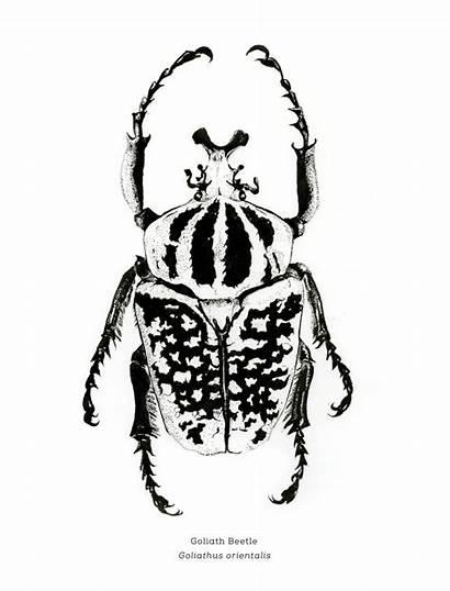 Scientific Illustration Illustrations Goliath Entomology Beetle Beetles