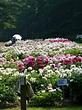 Peony Gardens at the Nichols Arboretum (University of ...
