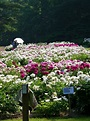 Peony Gardens at the Nichols Arboretum (University of ...