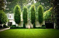 columnar white pine google search plant