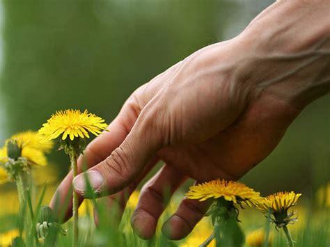 eat  weeds tips  picking  cooking dandelions