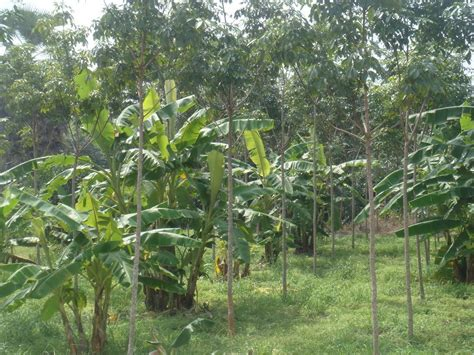 mrnainoy: การปลูกพืชแซมในสวนยางพารา