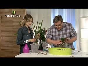 Comment Soigner Une Orchidée : comment rempoter une orchid e jardinerie truffaut tv ~ Farleysfitness.com Idées de Décoration