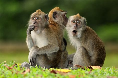 Crab Eating Macaque Picture And Images