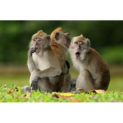 Explore Crab-Eating Macaque - Today's Homepage