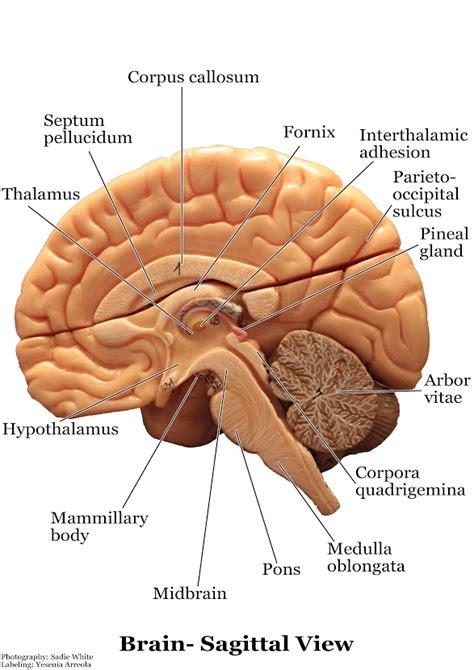 models nervous system slcc anatomy