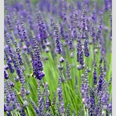 Grosso Lavender, Lavandula Intermedia 'grosso', Is The