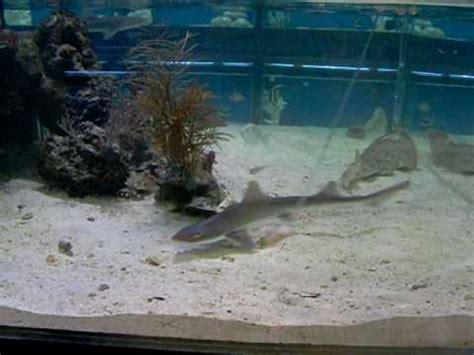 smooth hound shark feeding in aquarium
