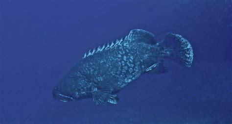 grouper hawaiian wetpixel forums 2008 underwater