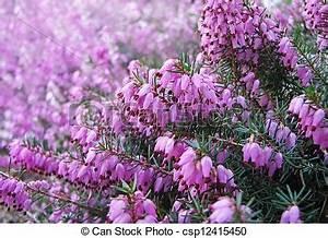 Welche Blumen Blühen Im August : bl te blumen heidekraut august ~ Orissabook.com Haus und Dekorationen