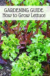 Garden Guide  How To Grow Lettuce