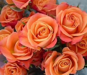Orange spray roses with tones of coral/quava Coral
