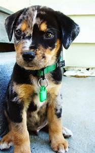 This adorable Louisiana Catahoula Leopard dog who doesn't ...