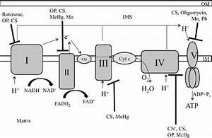 Oxidative Phosphorylation And Xenobiotic Sites Of