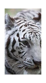 Zoo Knoxville's rare, elderly white tiger Kali euthanized
