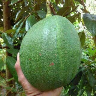 tanaman buah alpukat kendil samudrabibit com