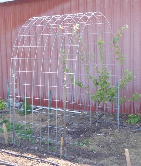 how to make a grape vine trellis simple arched trellis for grapes or pole beans