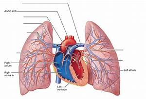 Activity 4  Pulmonary Circulation And Identifying Vessels