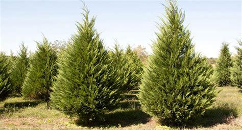 193 rboles de navidad naturales