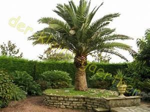 Kanarische Dattelpalme Kaufen : palmen bambus bananen exoten samen bestellen kaufen ~ Lizthompson.info Haus und Dekorationen