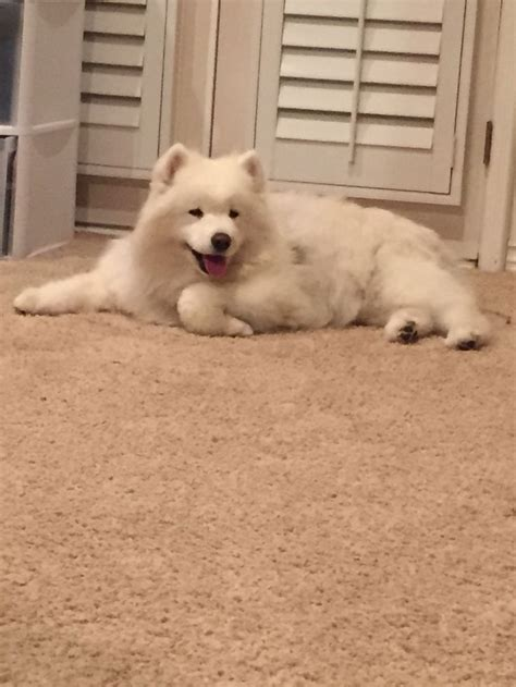 126 Best Images About Samoyed Smiles On Pinterest