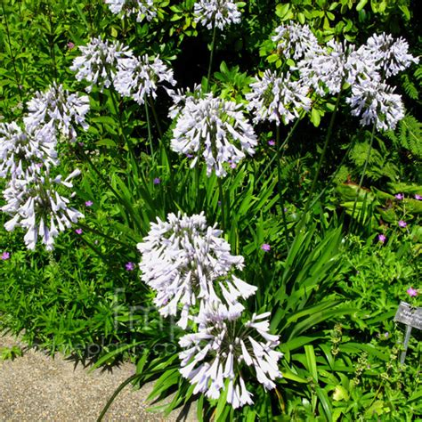varieties of agapanthus plant pictures agapanthus windsor grey