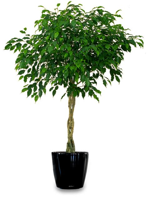 indoor tree plants 18 best large indoor plants tall houseplants for home and offices balcony garden web