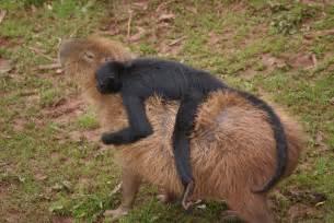 What Do Capybaras Eat