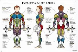 Muscle Anatomy Workout Image  With Images