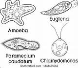 Unicellular Amoeba Diagram Label Organism Organisms Shutterstock Coloring Labels Vectors Amp sketch template