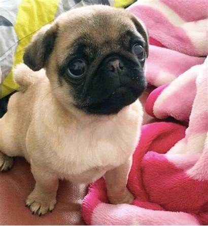 Pug Cutest Puppy Ever Worlds Contest Ollie
