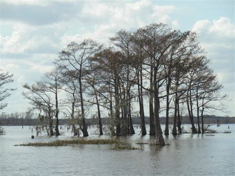 Sw Boat Tour New Orleans by Bald Sw Cypress Trees Picture Of Mcgee S Landing