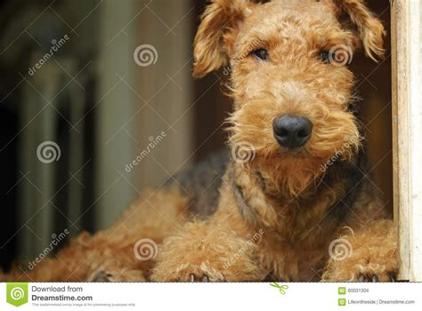 do airedale puppies shed airedale terrier teddy pet king of the terriers