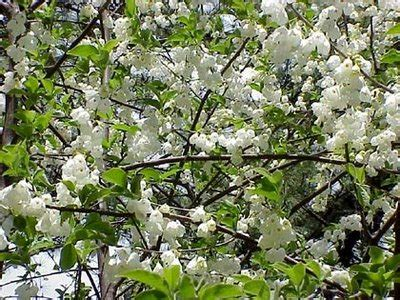 trees with white flowers white flowering trees www pixshark com images