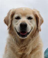 Golden Labrador Retriever Adults