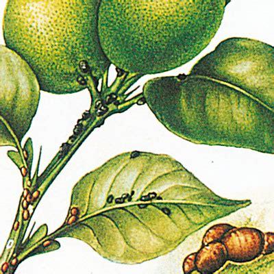 malattie limone in vaso malattie limone come curare la pianta di limone
